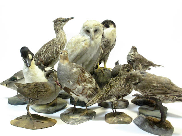 A collection of taxidermy birds