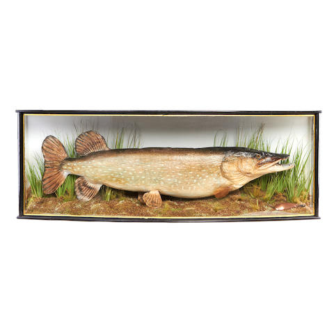 A mounted and cased 31lb pike,