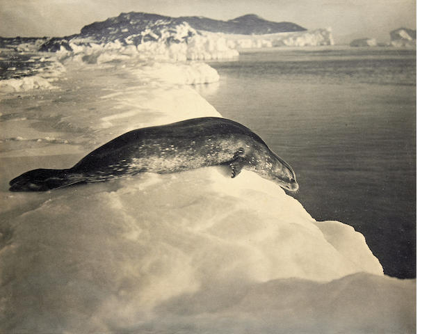 "PONTING (HERBERT GEORGE) ""Weddell Seal about to Dive, Cape Evans"", [15th March 1911]"
