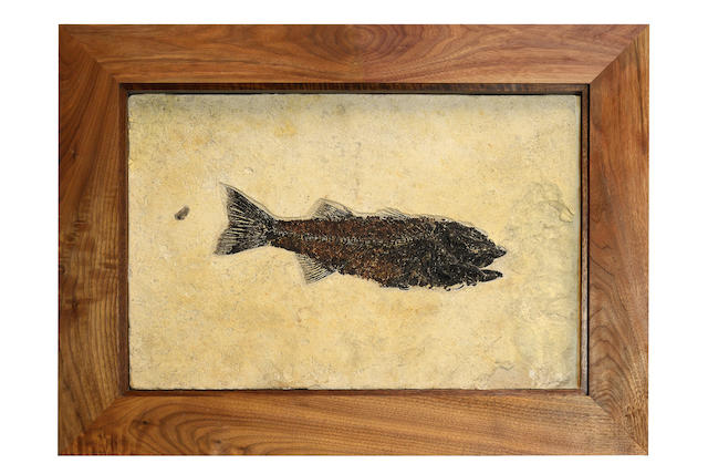 Fossil fish in black walnut Frame