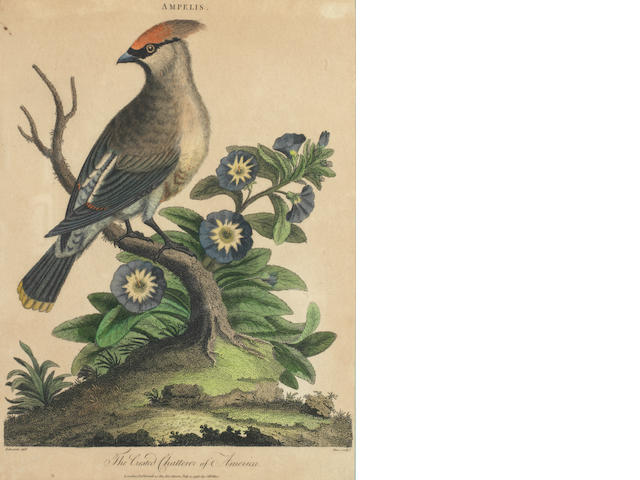 J. Pass (British, active 1793-1828) Twelve Engravings of Birds Hand coloured engravings, 1796-1803, entitled 'Crested Chatterer of America', 'Red-headed Barbet', 'African Beefeater', 'Globe-eared Curafson and the Mexican Cushew Bird', 'White-winged guillemot', 'Grufford Eagle', 'Black-crested Jay', 'Pinc-Pinc', 'Muscicapa', 'African Rook', 'Spendid Cron', 'Kingfisher', the last three with later hand colouring, on wove, the majority published by J.Wilkes,London, 245 x 185mm (9 5/8 x 7 1/4in)(PL) 12