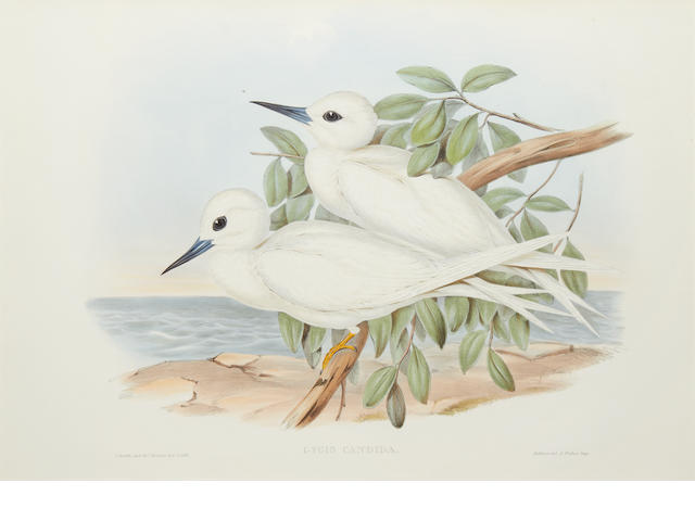 After John Gould. A Pair of Pacific White Terns (Gygis Alba Candida)