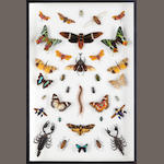 A cased display of Butterflies, Moths and Insects.