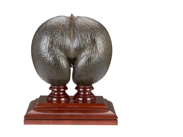 A coco de mer nut (Lodoicea Maldivica)