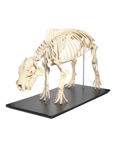 A mounted skeleton of a Pigmy Hippopotamus (Choeropsis liberiensis)