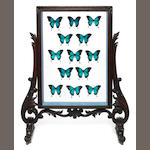 An Antique fire screen bearing a display of Blue Ulysses Swallowtail Butterflies (Paplio Ulysses)