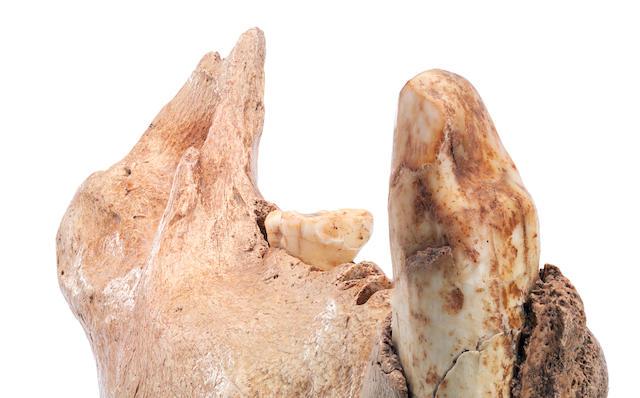 A cave bear jaw, Ursus spelaeus,  Romania,