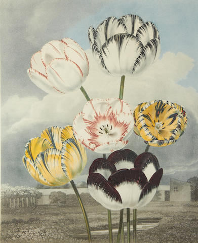 """Tulips"" engraved by J Honwood, background aquatinted by F C Lewis"