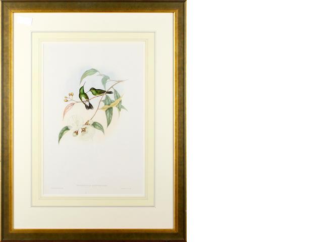 John Gould Thaumatlas Albiugntris hand coloured lithograph 50 x 33cm.