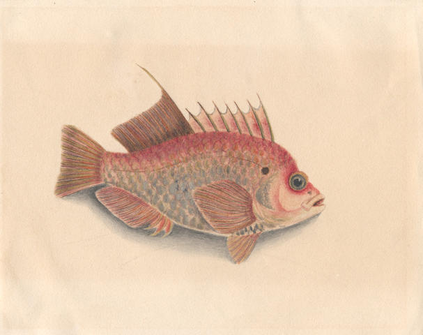 BOWDICH (SARAH) Three original pen, ink and watercolour drawings of fish (3)