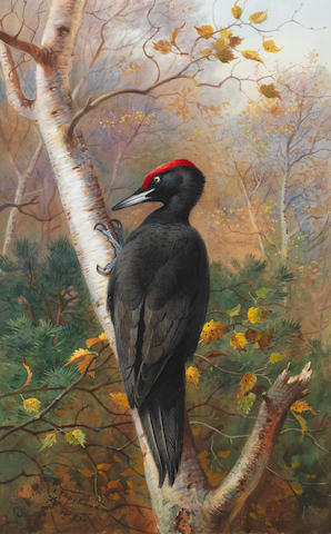 Archibald Thorburn (British, 1860-1935) A Black Woodpecker in woodland