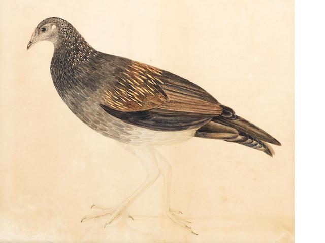 A grey partridge with speckled plumage Company School, Calcutta, circa 1820