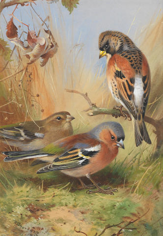Archibald Thorburn (British, 1860-1935) Brambling and a pair of Chaffinches