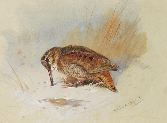 Archibald Thorburn (British, 1860-1935) Woodcock burrowing in sand