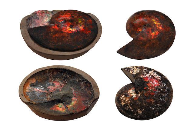 An opalised ammonite, Sphenodiscus lenticularis,
