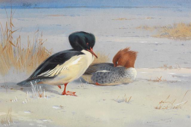 Archibald Thorburn (British, 1860-1935) A pair of Goosander
