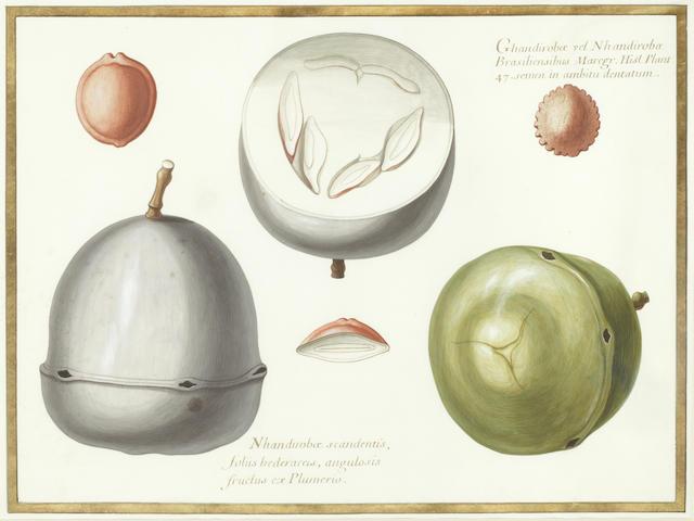 """BOTANICAL WATERCOLOUR AUBRIET (CLAUDE) Fine study of two fevillia, captioned """"Ghandirobe vel Nhandirobe Brasiliensibus... angulosis fructus ex plumerio"""", [Paris, c.1740]"""