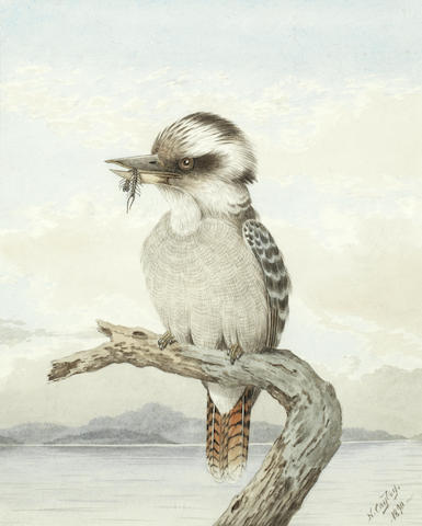 Neville Henry Peniston Cayley (Australian, 1853-1903) Kookaburra