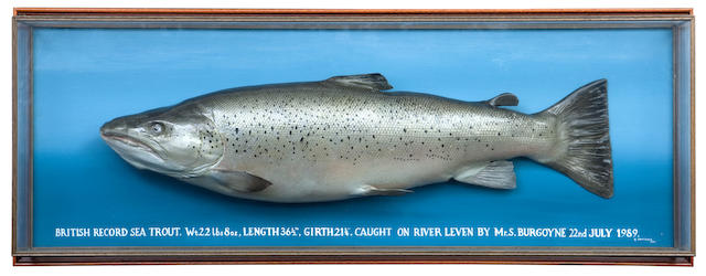 The British Record Sea Trout, a cased fishing trophy By George Jamieson, Edinburgh