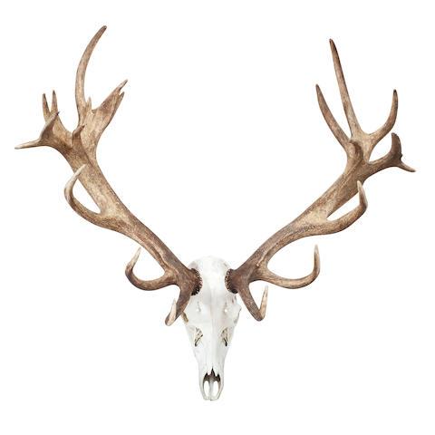 A set of Red Deer Antlers
