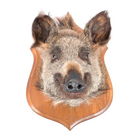 A taxidermy wild boar head