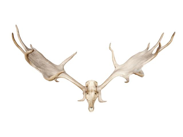 A pair of 'Irish Elk' or Giant Deer antlers  Megaloceros giganteus