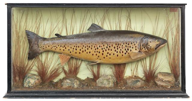 A cased Ferox Trout, By A. Macleay, Inverness