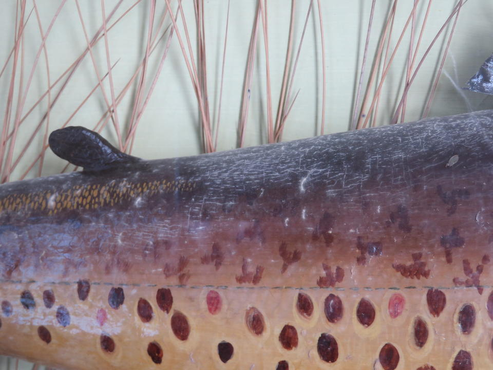A cased Ferox Trout By A. Macleay, Inverness