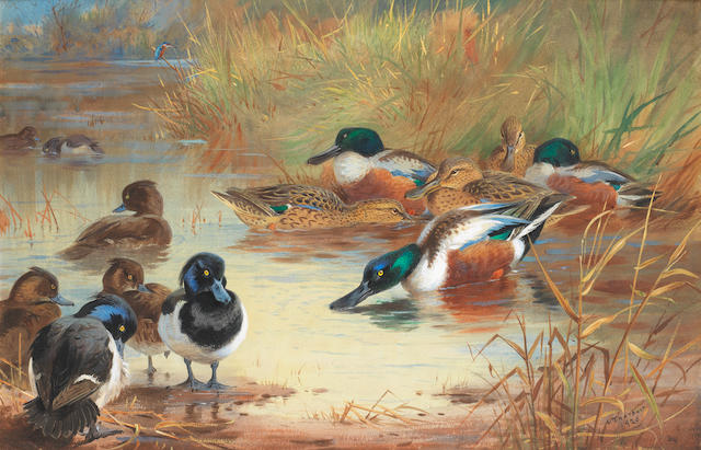 Archibald Thorburn (British, 1860-1935) Shoveler and Tufted Duck with a Kingfisher at the water's edge