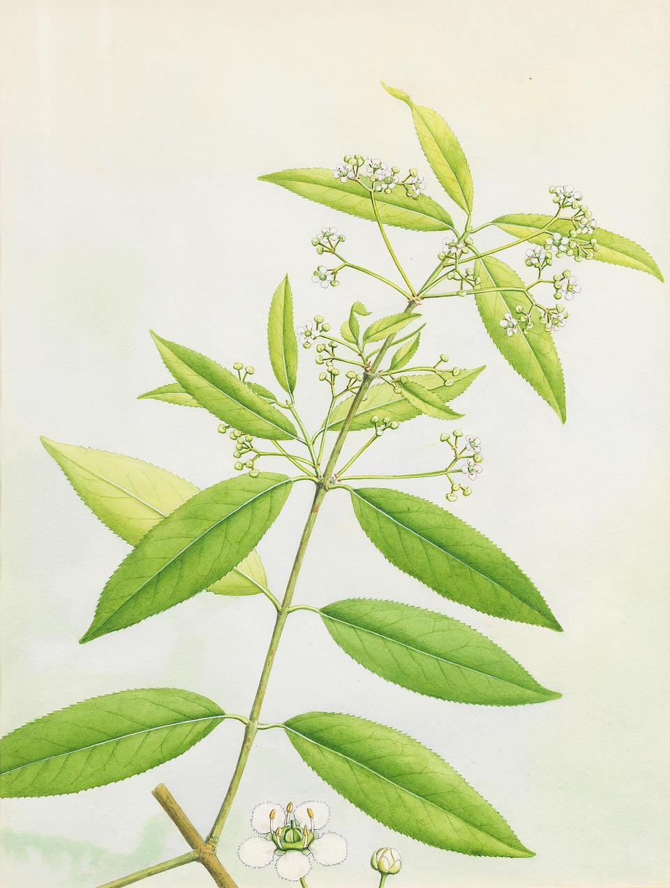 Twelve watercolour studies of flowering plants, by Thakur Ganga Singh (1895-1971), court painter to Yadhavindra Singh, Maharajah of Patiala (reg. 1938-47) Patiala, 1940-50(12)