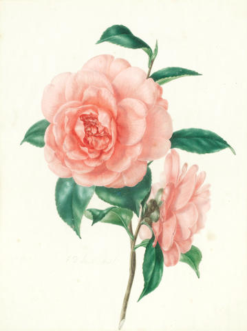 "BOTANICAL WATERCOLOURS SMITH (EDWARD DALTON) A watercolour of a pink Camellia, signed in pencil on image ""E.D. Smith Delt."", [nineteenth century]; and 2 other nineteenth century watercolours of white Camellias, each approximately 235 x 225mm.; and 2 other framed watercolours of Camellias (3)"