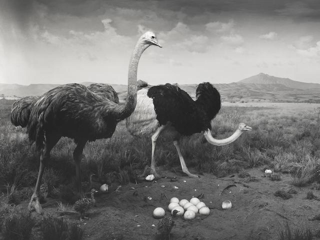 Hiroshi Sugimoto (B. 1948) Ostrich - Wart Hog, 1980