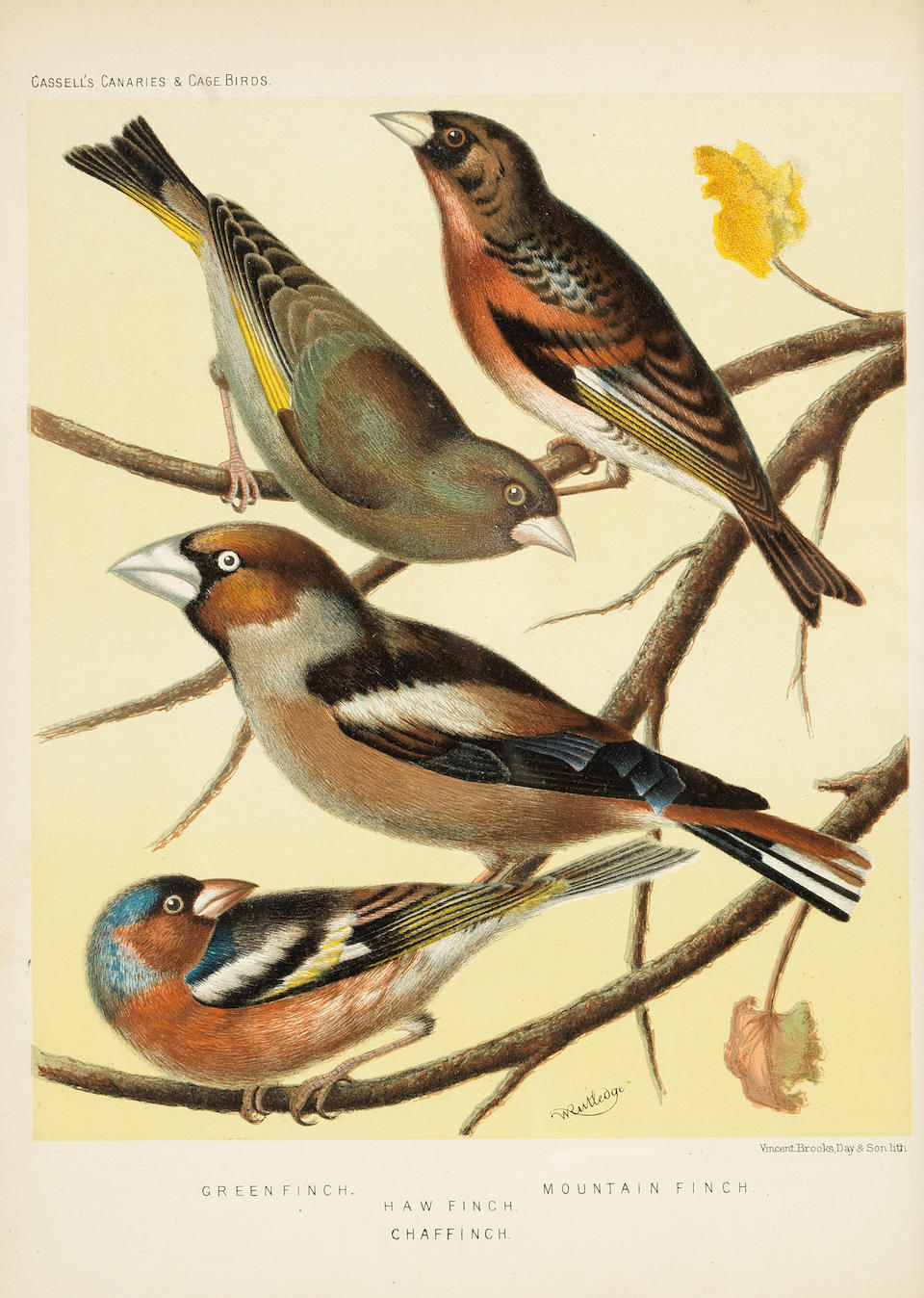 A set of twelve 19th century coloured prints of caged birds and canaries (12)