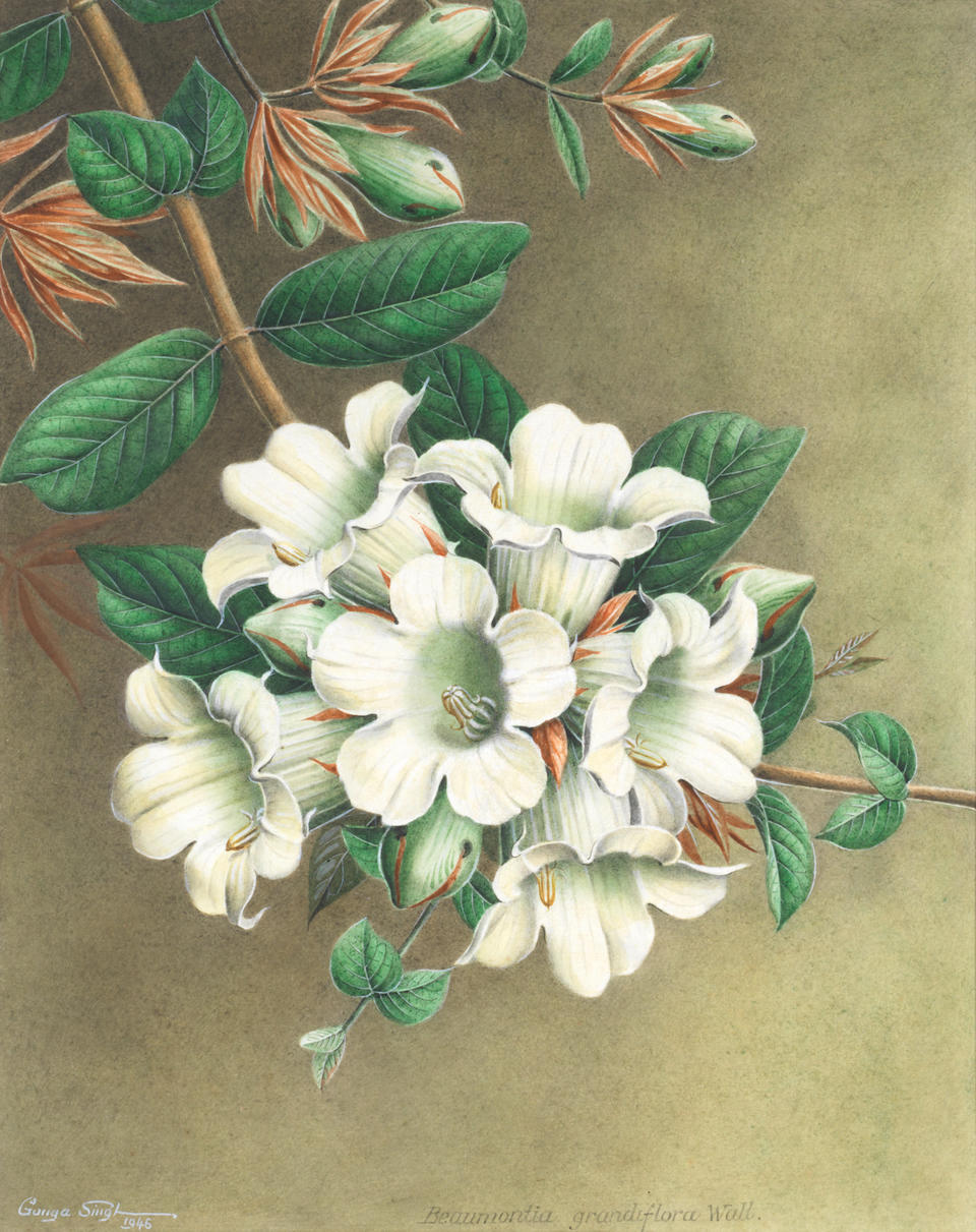 Thakur Ganga Singh (Indian, 1895-1970) Three botanical studies two measure 45.1 x 35cm (17 3/4 x 13 3/4in); the third measures 38.1 x 30.1cm (15 x 11 7/8in). (3) (mounted but unframed)