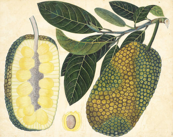 COMPANY SCHOOL - INDIA Two botanical studies of large fruit (Bread fruit; Jack fruit) on a branch, with cross-section and pip detail, [c.1810] (2)