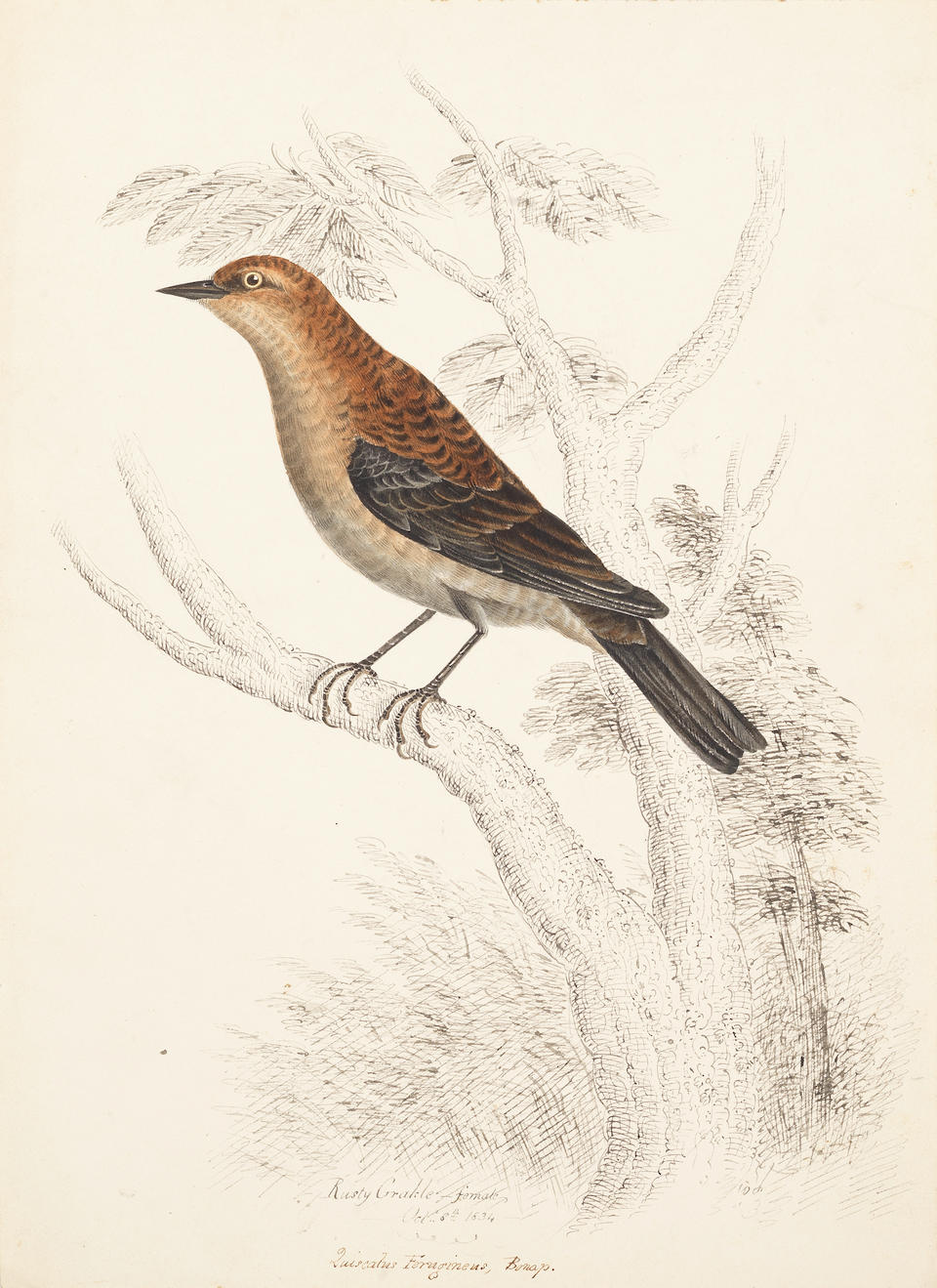 William Pope (British/Canadian, 1811-1902) An extensive archive of fifty-four Canadian animal studies, comprised of forty ornithological studies and fourteen ichthyological studies 50 x 33.8cm (19 3/4 x 13 1/4in) and smaller. (54) unframed